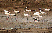 Stock photo: small greater flamingo flock roaming in the wetland of Khijadiya Birds Sanctuary Jamnagar, Gujarat India. Image is available for Editorial/Non-commercial Use Only.<br /> <br /> The Khijadiya Bird Sanctuary is a must visit place in Gujarat, India for birdwatchers and nature students alike. <br /> <br /> It's a one of a kind wonder of ecology and warmly provides a safe haven for about 300 Migratory birds every year.