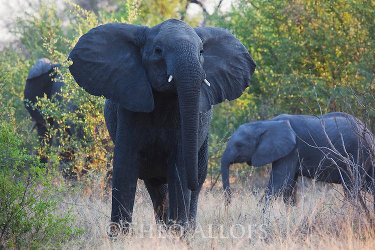 Botswana, Okavango Delta, Moremi; African elephants (Loxodonta africana)