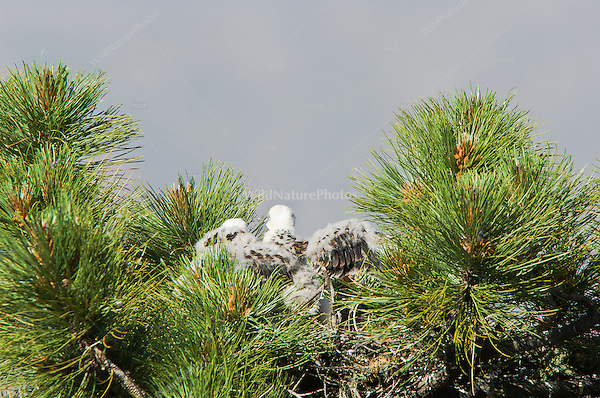 Short-tailed Hawk (Buteo brachyurus) nestling, losing down feathers; Arizona (Nesting Record)