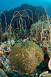 Whip coral forest (Junceella sp.)