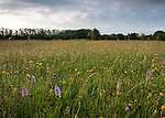 Traditional hay meadow featuring common spotted orchids, Dactylorhiza fuchsii, hawkbit species, Leontodon, and meadow buttercups, Ranunculus acris. Clattinger Farm, Wiltshire. UK. This habitat has been reduced by 98% in the UK since the Second World War. This is largely due to the intensification of farming practices.
