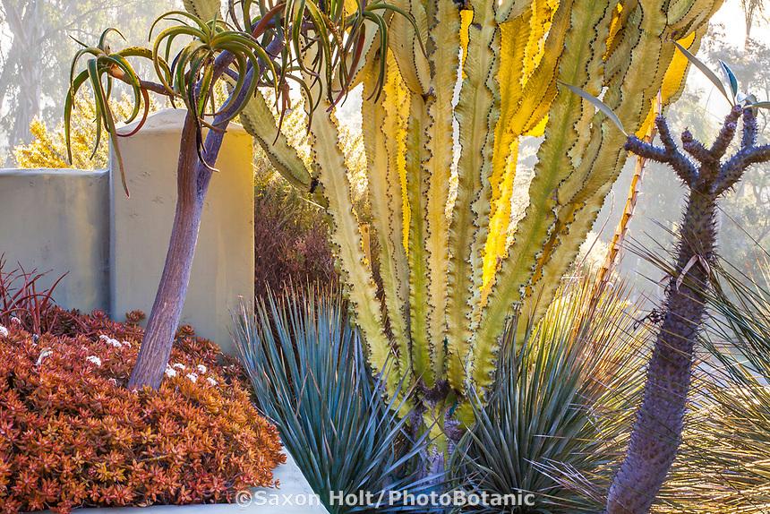 Euphorbia ammak, African candelabra euphorbia among Aloes by entry gate to Patrick Anderson Garden, San Diego, California