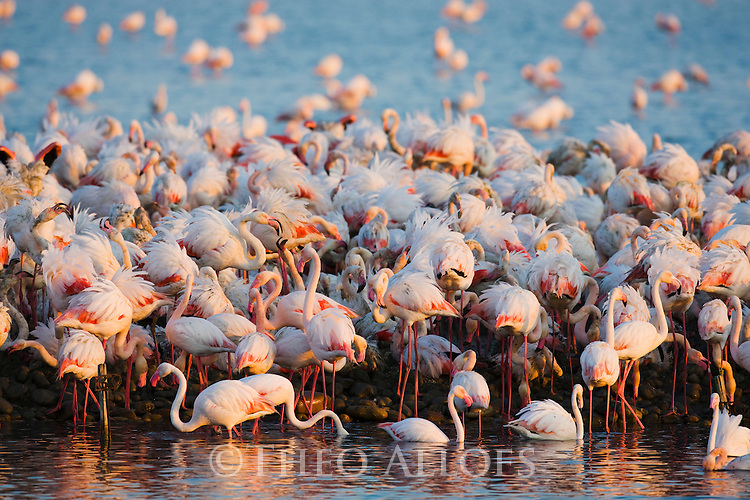 Greater Flamingos (Phoenicopterus roseus), at breeding colony, estimated 10.000 breeding pairs, Camargue, Rhone Delta, France