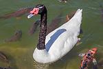 Black-necked Swan, Bicentenial Park