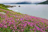 Dwarf fireweed, Harriman Fjord, tour boat discovery, Prince William Sound, Alaska