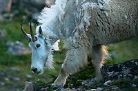 A mountain goat traverses a rock field near Upper Aero Lake in the Absaroka-Beartooth Wilderness.