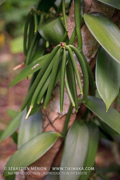 Vanille de Lifou, Nouvelle-Calédonie