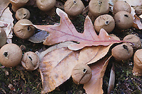 Puffball (Lycoperdaceae), Raven Rock State Park, North Carolina, USA