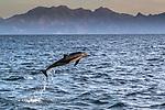 Mexico, Baja California Sur, Sea of Cortez, common dolphin (Delphinus sp.)