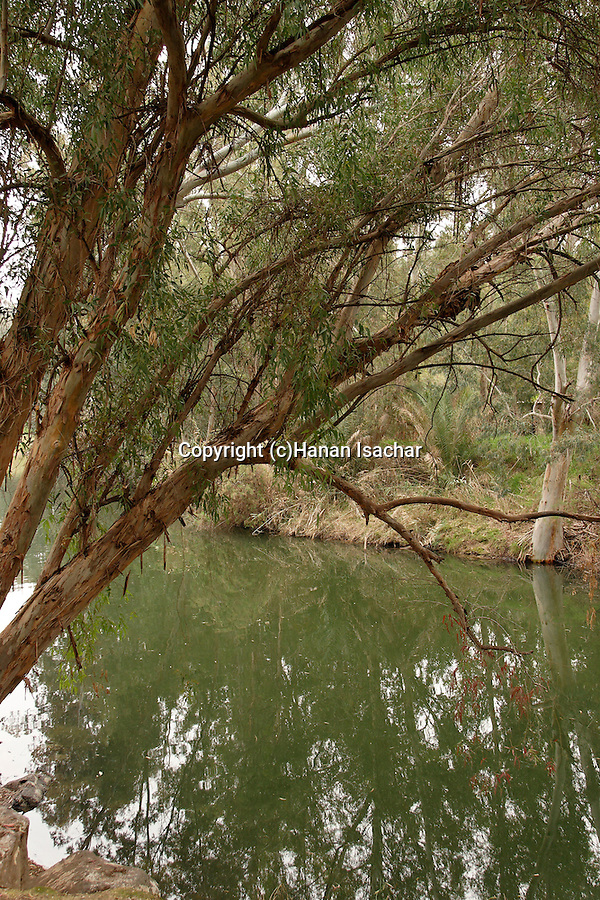 Israel, Jordan Valley, Eucalyptus trees by the Jordan River