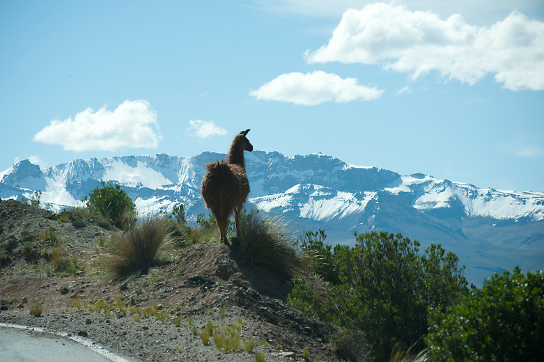 On the way to Arequipa, llamas and alpacas can be seen grazing on the side of the road. The diverse wildlife is scattered throughout Peru, specifically the Colca Valley. There are 500 different species of mammals, 1,800 species of birds, and over 300 species of reptiles that make up the majority of the wildlife found in Peru.