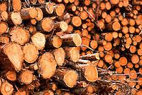 """Corte de Eucalipto,  gÍnero de arbustos ou ·rvores de grande porte, da famÌlia das mirt·ceas, usado  para plantio de extensas ·reas de espÈcie para posterior produÁ""""o de de papel e celulose  (grupo Orsa).<br /> A f·brica da JarÌ em local prÛximo,  onde È beneficiada a madeira, foi construÌda em cima de uma balsa e trazida por empurradores do Jap""""o no final da dÈcada de 70 e instalada as margens do rio JarÌ, fronteira do Par· com o Amap·.<br /> Almeirim, Par·, Brasil.<br /> Foto Paulo Santos/Interfoto<br /> 03/2005."""