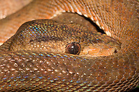 Central American Tree Boa, Corallus ruschenbergerii, nocturnal snake which uses heat sensors to help them locate prey.