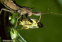 AS06-004z   Assassin Bug consuming insect