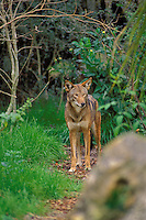 Red Wolf. Endangered species.  Southeastern U.S.A. (Canis rufus)