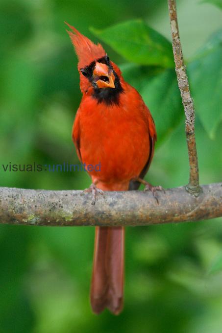 Northern Cardinal (Cardinalis cardinalis) perched on a branch and singing, Toronto, Ontario, Canada.