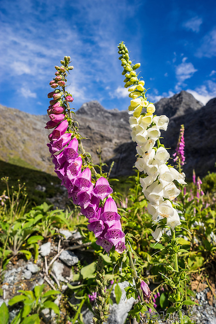The wild Russell Lupin flowers off the Milford to Te Anau Road in Fiordland National Park, New Zealand