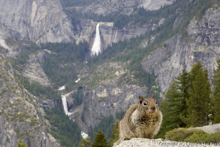 Western Gray Squirrel at Glacier Point with waterfalls in background.(Sciurus griseus).Yosemite National Park, California, USA