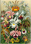 Orchidae (Orchids), by Ernst Haeckel, 1904