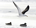 Cold day for the water fowl as they mostly hunker down, Saturday, January 6, 2018,  on the Connecticut River and the Thompsonville boat launch in Enfield. (Jim Michaud / Journal Inquirer)