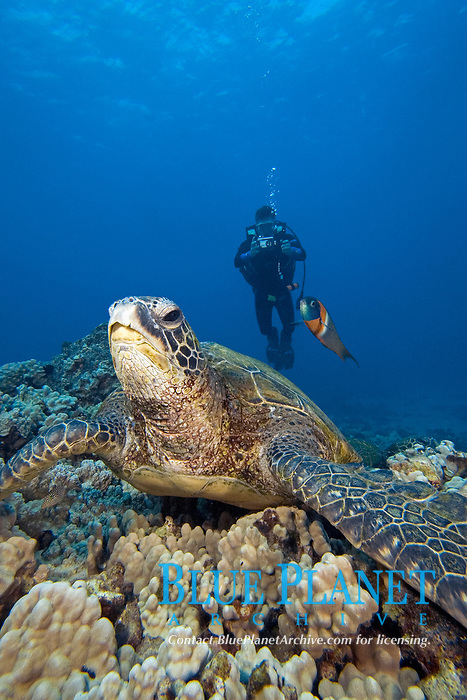 Green sea turtle, Chelonia mydas, endemic saddle wrasse, Thalassoma duperrey, and diver. Maui, Hawaii, USA, Pacific Ocean