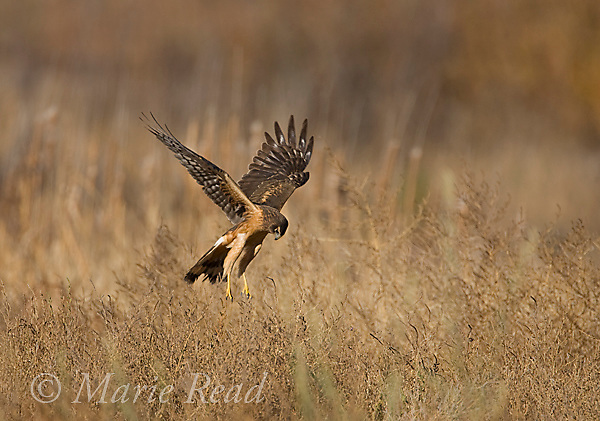 Northern Harrier (Circus cyaneus) hovering over marsh before plunging after prey, Bosque Del Apache National Wildlife Refuge, New Mexico, USA