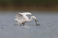Snowy Egret (Egretta thula) grabbing a fish, East Pond, Jamaica Bay Wildlife Refuge