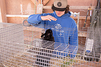 Toby began spending time this year in the agricultural science department at Sequim High School. He is particularly fond of the rabbits. Photo: Meryl Schenker for The Hechinger Report