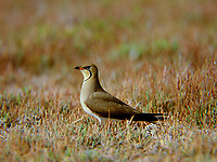 Rotflügel-Brachschwalbe, Rotflügelbrachschwalbe, Brachschwalbe, Brachschwalben, Glareola pratincola, collared pratincole, common pratincole, red-winged pratincole, La Glaréole à collier