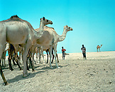 ERITREA, Tio, young men keep a close watch on their camels South of the town of Tio