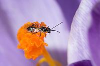 Schlupfwespe in Krokusblüte, Tersilochine, Tersilochinen, Tersilochinae, Schlupfwespen, Ichneumonidae, ichneumon wasp, ichneumonid, ichneumonids, scorpion wasp, ichneumon wasps, scorpion wasps