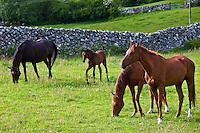 Irish horses and foal, County Galway, Ireland