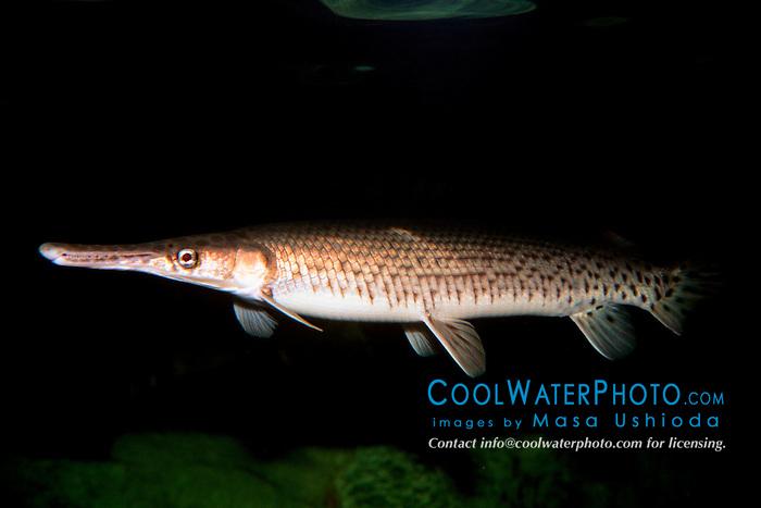 Florida gar (c), .Lepisosteus platyrhincus, .Florida.
