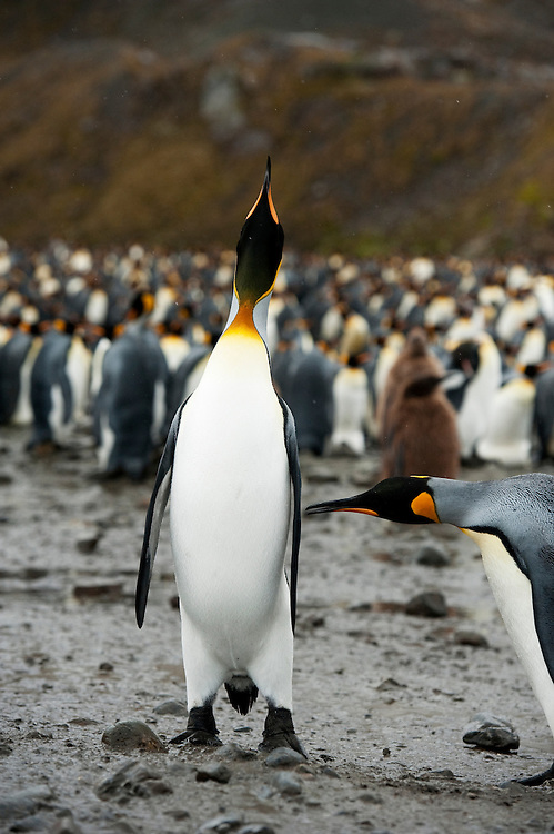 A large King Penguin colony (Aptenodytes patagonicus) , Fortuna Bay, South Georgia