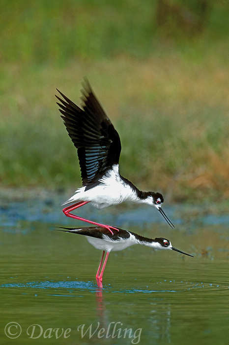 579500001 a wild pair of black-necked stilts himantopus mexicanus in mating or breeding ritual in a small pond in the rio grande valley of south texas