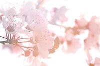 Be harversting a pulm flower.