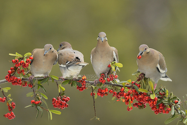 White-winged Dove (Zenaida asiatica), adults eating Firethorn (Pyracantha coccinea)  berries, Hill Country, Texas, USA