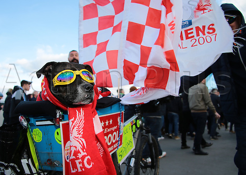 28.02.2016. Wembley Stadium, London, England. Capital One Cup Final. Manchester City versus Liverpool. A Liverpool fan brings his staffordshire Bull Terrier dog to Wembley Stadium
