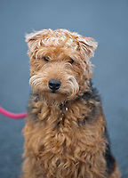 Close up of male Lakeland Terrier on a lead, Cumbria.