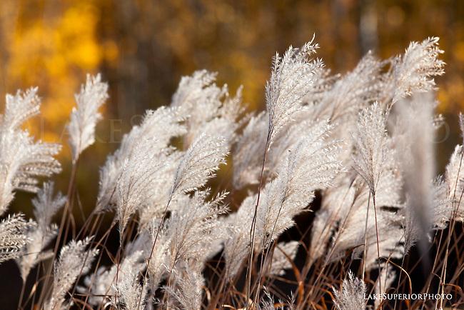 Miscanthus, autumn