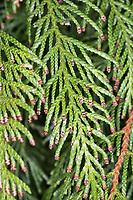Riesen-Lebensbaum, Riesenlebensbaum, Thuja plicata, Thuja gigantea, western redcedar, Pacific redcedar,giant arborvitae, western arborvitae, giant cedar, shinglewood, Le Cèdre de l'Ouest, le Thuya géant, thuya géant de Californie