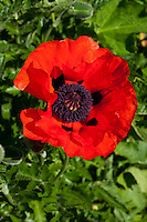 A red oriental poppy (Papaver orientale) blooming in the sunshine in May against green leaves.