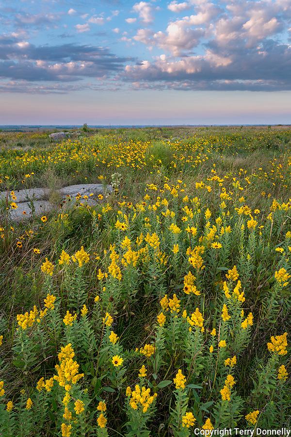 Blue Mounds State Park; Minnesota:<br /> Goldenrod (solidago) and prairie sunflower (Helianthus petiolaris) flowers in a tallgrass prairie under an evening sky