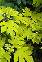Hydrangea quercifolia Little Honey, yellow foliage in June