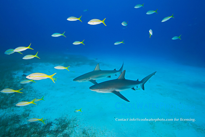 Caribbean Reef Shark, Carcharhinus perezi, and Yellowtail Snappers, Ocyurus chrysurus, over coral reef, West End, Grand Bahamas, Atlantic Ocean