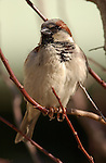 House Sparrow Male Extreme Close Portrait Southern California