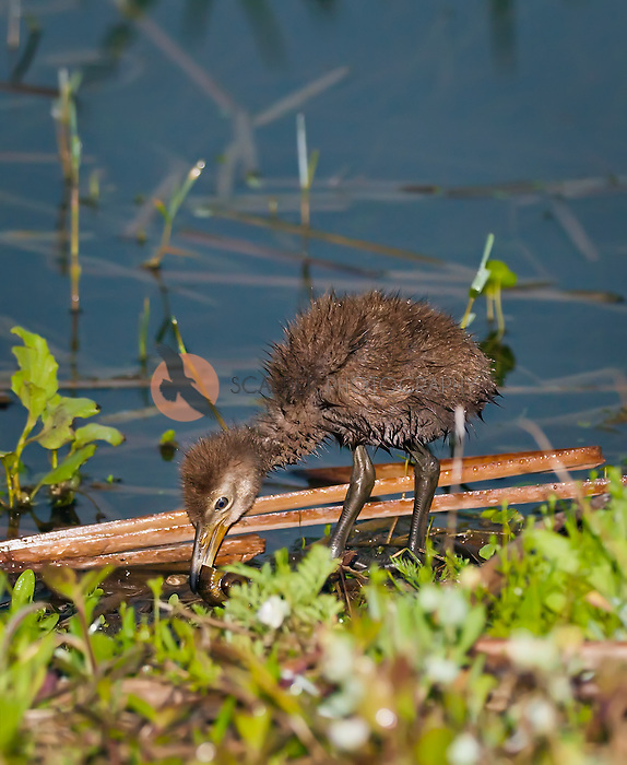 Very wet Limpkin chick with snail in beak