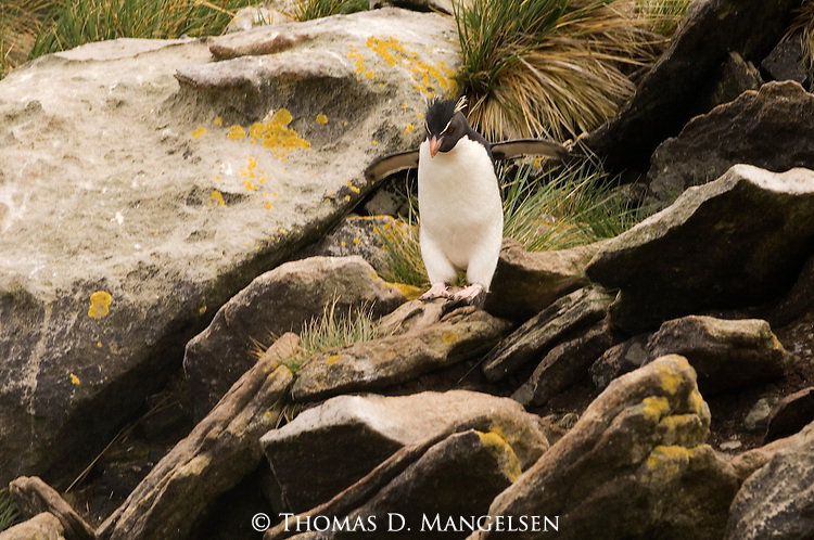 Rockhopper Penguin rock-hopping on West Point Island in the Falkland Islands.