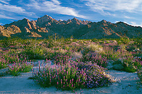 Arizona lupine and common phacelia<br />