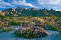 Arizona lupine and common phacelia<br /> Coxcomb Mountains<br /> Joshua Tree National Park<br /> Mojave Desert, California